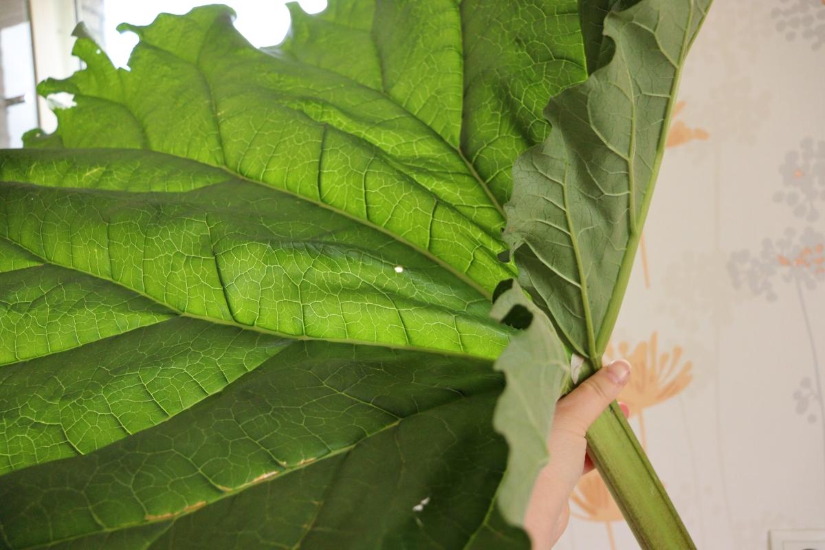 Green rhubarb stalk with a very big leaf